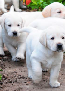 pic from guidedogs.org