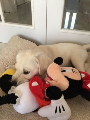8 week old L/GR chewing Minnie Mouse's leg.