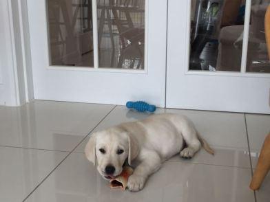 9 weeks Lying on kitchen floor chewing bone