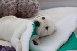 8 weeks Chewing vet bed