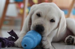 8 weeks Chewing on Kong