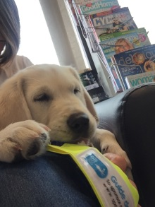 10 weeks snoozing on PW lap in hairdressers