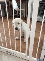 13 weeks behind the stairgate after barking and jumpig at the hoover